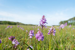 Field wild orchids Stock Images