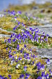 Field of wild pansy flowers Stock Photos