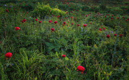A field of wild peonies Stock Photo