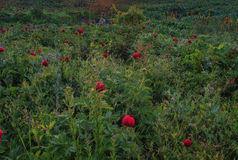 A field of wild peonies Royalty Free Stock Image