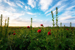 A field of wild peonies Stock Images