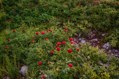 A field of wild peonies Royalty Free Stock Images