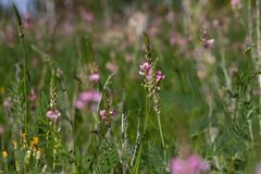 Field of wild pink small flowers and faded dandelions in summer on a natural background in a sunny day. stock photography