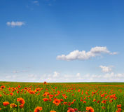 The field of wild poppies Royalty Free Stock Photography