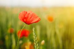 Field of of wild poppies and wheat in the sun light. Flower close up royalty free stock photography