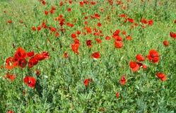 Field with wild poppy. Stock Image