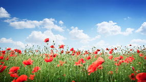 Field of wild poppy flowers. Royalty Free Stock Image