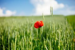 Field with wild poppy and wheat in the sun light. Flower close up royalty free stock photography