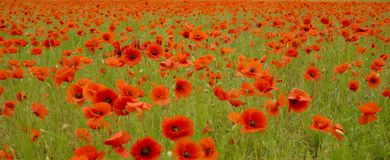 Poppy meadow. stock photo