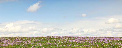 Field of wild purple crocuses with clouds in background. Field of wild purple crocuses with sky and clouds in background Royalty Free Stock Photo