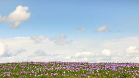 Field of wild purple crocuses with clouds in background. Field of wild purple crocuses with sky and clouds in background Royalty Free Stock Photos