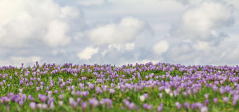Field of wild purple crocuses with clouds in background. Field of wild purple crocuses with sky and clouds in background Stock Photo