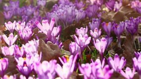 Field of wild purple crocuses with oaks trees valley at sunset. Beauty of wildgrowing spring flowers crocus. Blooming in spring stock footage