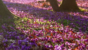 Field of wild purple crocuses with oaks trees valley at sunset. Beauty of wildgrowing spring flowers crocus. Blooming in spring stock video