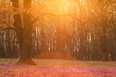 Field of wild purple crocuses with oaks trees valley at sunset. Beauty of wildgrowing spring flowers crocus blooming in spring Royalty Free Stock Images