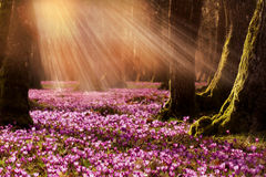 Field of wild purple crocuses with oaks trees valley at sunset. Beauty of wildgrowing spring flowers crocus blooming in spring Stock Photo
