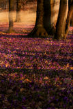 Field of wild purple crocuses with oaks trees valley at sunset. Beauty of wildgrowing spring flowers crocus blooming in spring Stock Images