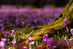 Field of wild purple crocuses with oaks trees valley at sunset. Beauty of wildgrowing spring flowers crocus blooming in spring Royalty Free Stock Image