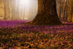 Field of wild purple crocuses with oaks trees valley at sunset. Beauty of wildgrowing spring flowers crocus blooming in spring Stock Image