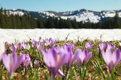 Field of wild purple crocuses. Snow covered mountains in background. Beautiful meadow of wild purple crocuses. Blue sky and hills with trees in background Royalty Free Stock Images