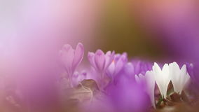Field of wild purple crocuses at sunset. Beauty of wildgrowing spring flowers crocus. Field of wild purple crocuses with oaks trees valley at sunset. Beauty of stock video