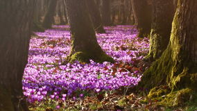 Field of wild purple crocuses at sunset. Beauty of wildgrowing spring flowers crocus. Field of wild purple crocuses with oaks trees valley at sunset. Beauty of stock footage