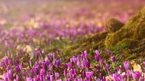 Field of wild purple crocuses at sunset. Beauty of wildgrowing spring flowers crocus. Field of wild purple crocuses with oaks trees valley at sunset. Beauty of stock video footage