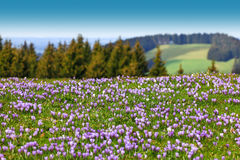 Field of wild purple crocuses. Trees and sky in background. Beautiful meadow of wild purple crocuses. Blue sky and hills with trees in background. Peaceful Royalty Free Stock Image