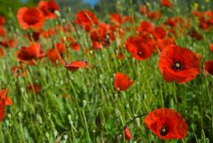 Field of Wild Red Poppies Royalty Free Stock Photo