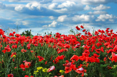 A field of wild red poppies Royalty Free Stock Image