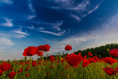 Field of wild red poppies. In remote rural area Stock Images