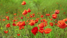 Field of wild red poppies in spring  time stock video footage