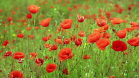 Field of wild red poppies in spring  time stock footage