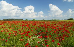 Field of wild red poppies. On a summer day Royalty Free Stock Images