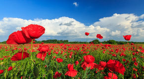 Field of wild red poppies Royalty Free Stock Images