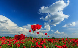Field of wild red poppies Stock Images