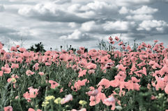 Field of wild red poppies under cloudy sky Royalty Free Stock Photography