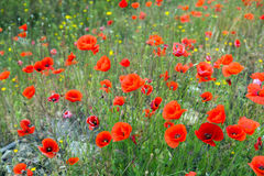 Field of wild red poppy Stock Photography