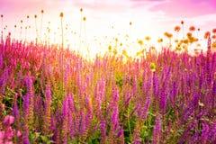 Field of wild salvia nemarosa Royalty Free Stock Images