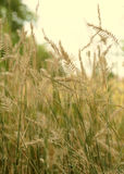 Field of wild wheat. The golden ears of wild wheat, close-up Royalty Free Stock Image