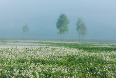 Field of wild white daffodils Stock Photo