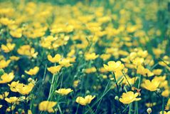 Field of wild yellow flowers, blooming buttercups stock photo