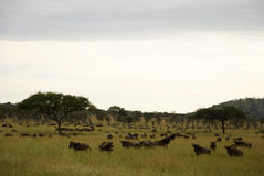 Field with wildebeest during the great migration. Wildebeest in a grass field with some trees grazing. Taken during the great migration in Tanzania Royalty Free Stock Photography
