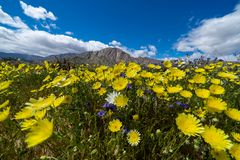 Field of wildflowers in Anza Borrego State Park in California during the rare superbloom event on a sunny day. Shown - desert. Dandelion and wild canterbury royalty free stock photography
