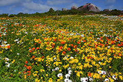 Field of wildflowers Royalty Free Stock Photo