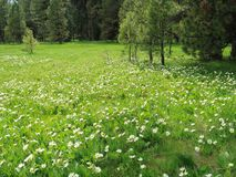 Field of wildflowers. Bright white wildflowers grow amongst the pine trees in a green field on a mountain on a spring day stock image