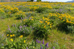 Field of Wildflowers at Columbia River Gorge Royalty Free Stock Photo