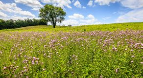 Field of wildflowers in Kentucky royalty free stock photography