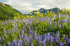 Field of wildflowers and mountains Stock Photos
