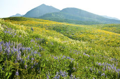 Field of wildflowers and mountains Royalty Free Stock Photo